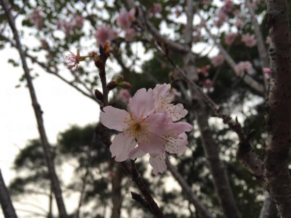鰂魚涌海濱花園 香港櫻花
