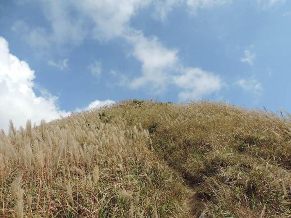 飛鵝山上的芒草海