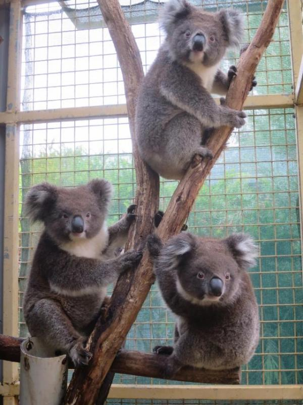 海洋公園「澳洲歷奇」樹熊館