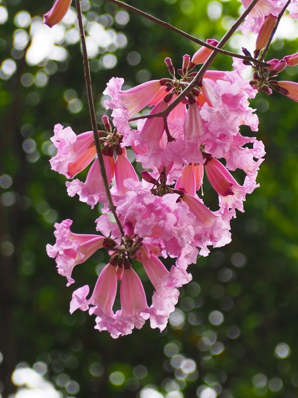 2016年部分花樹已經開花(圖:網友HummingBird提供)