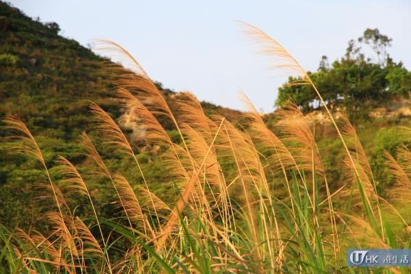 在秋冬之際,山上更會出現芒草