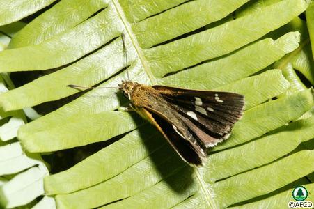 旖弄蝶 (圖片來源:漁農署)
