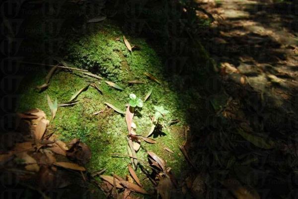 滿布地衣的石頭展示出大埔滘空氣十分純淨。