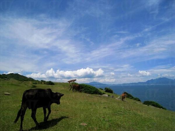 塔門遍地牛隻。