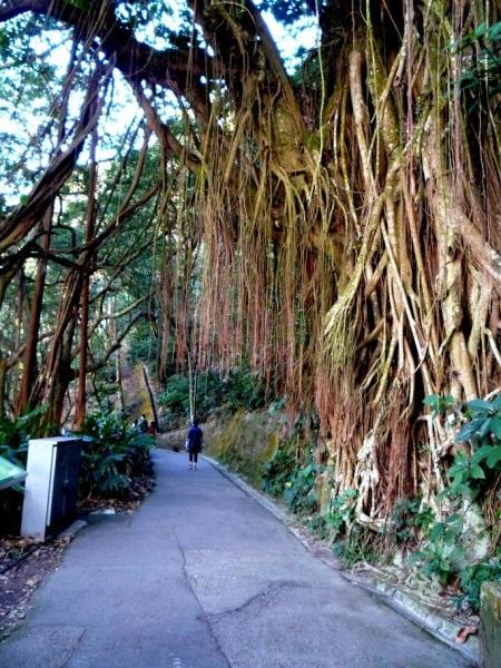 印度橡樹的氣根長至將近垂地,令林蔭小徑更顯幽靜。(相片來源:Clara Lee)