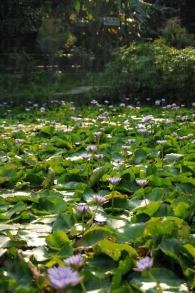 農莊外的紫蓮池,十分罕有。