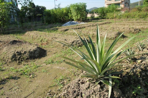 剛播下種子的農田,一個月後便會有收成。