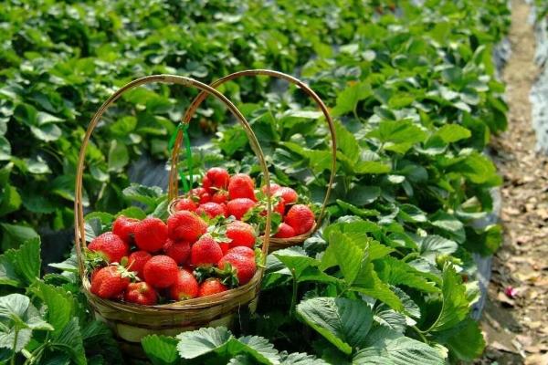 在一片綠油油的菜田下嘗務農之樂,感覺舒服。