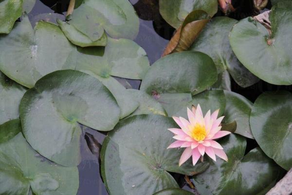 當湖上蓮花盛開,風景如詩似畫一般漂亮。
