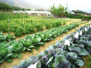 小狗阿康有機農場逾4萬平方呎,栽種品種繁多。