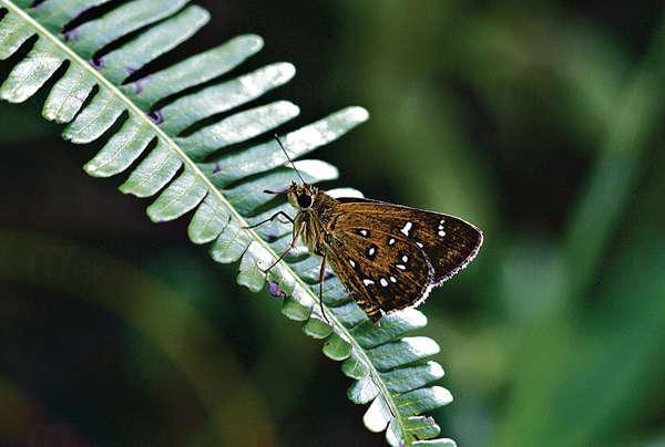 梅窩首見兩罕有蝴蝶
