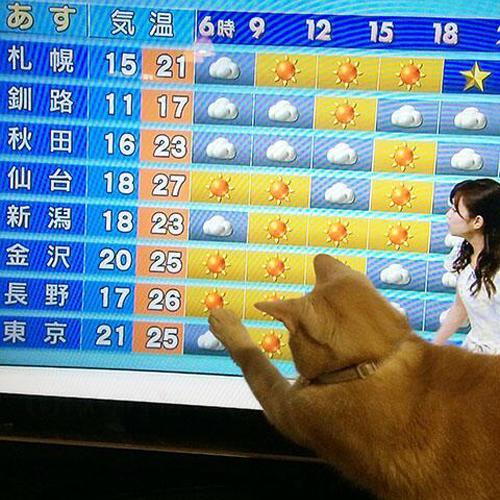 百思不得其解!貓貓愛看天氣預報