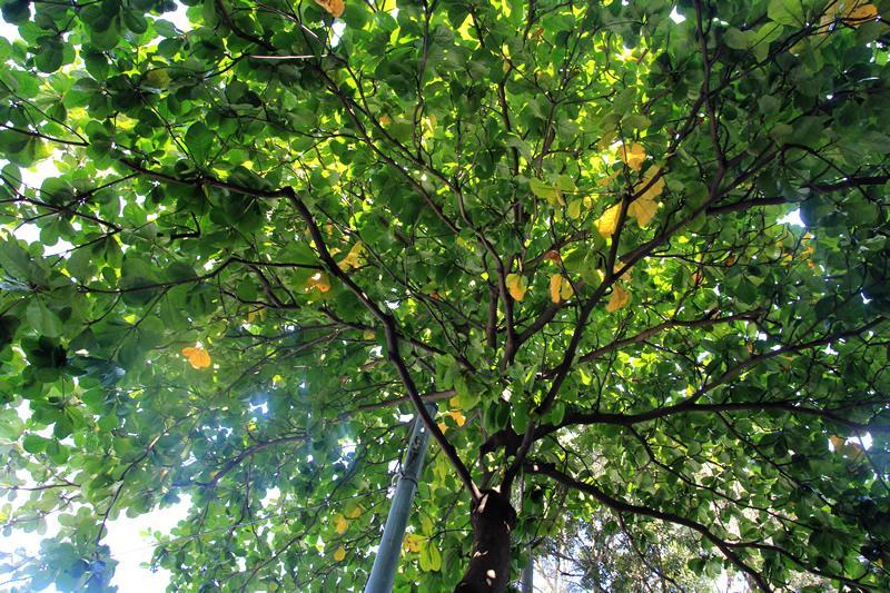 香港市區紅葉樹變色進度-銅鑼灣 (更新至20/11)