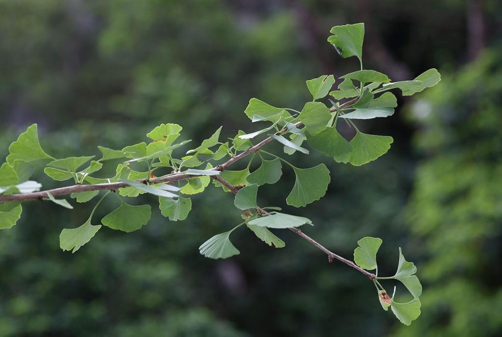 醫管局推香港有毒植物圖鑑!10大常見有毒植物 杜鵑/含羞草上榜