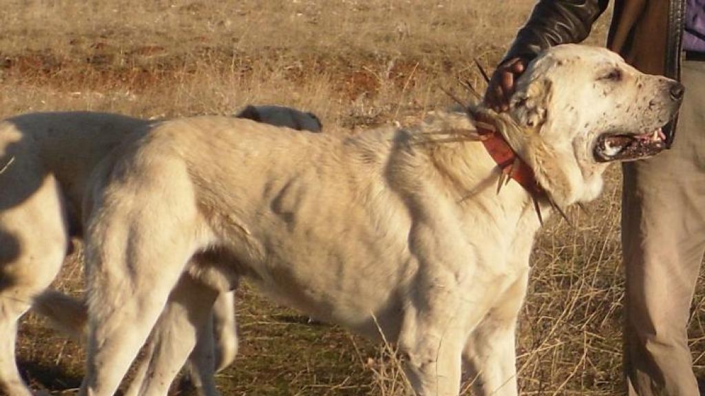 牧羊犬保護羊群獲點頭感謝!暖心場面 網友大讚最忠心的朋友