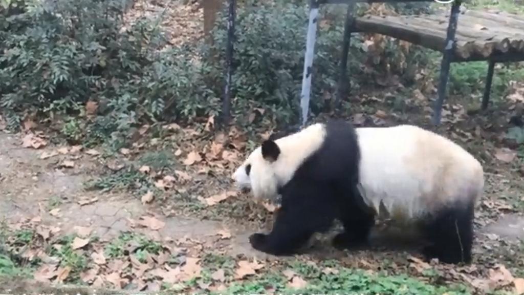 高齡大熊貓懷疑被動物園粗暴對待 熊貓基地:已將其中一隻接回到基地養老