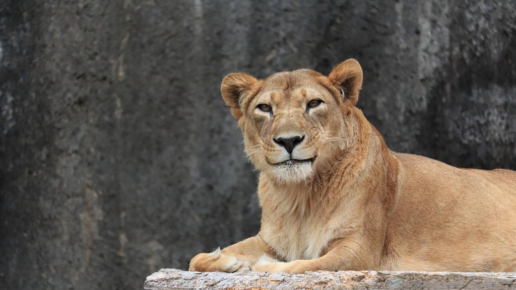 日本驚見獅子展現「熟女的微笑」 網民高呼萌爆並封「蒙羅麗獅」