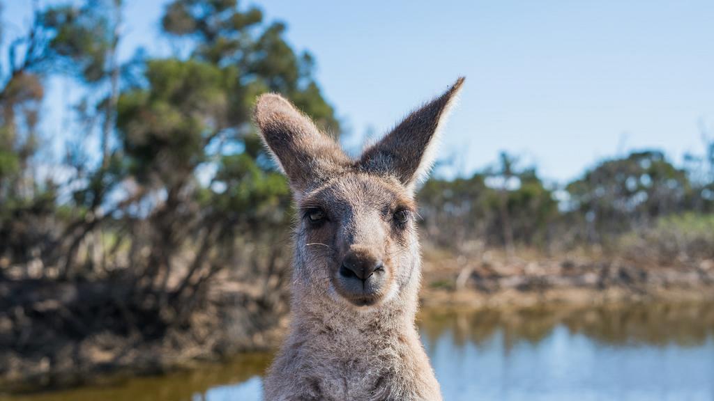 袋鼠數量過盛引發農作物失收車禍頻生 澳洲政府准獵人殺1.4萬隻袋鼠製寵物罐頭