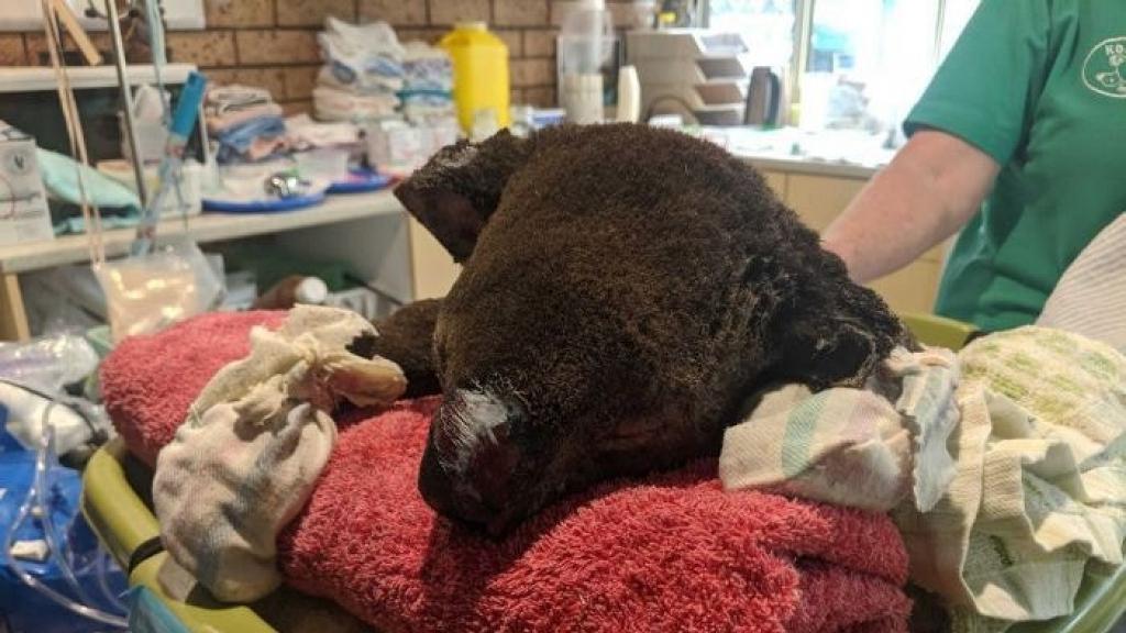 澳洲大火有350隻樹熊葬身火海 火勢持續令野生樹熊陷入危機
