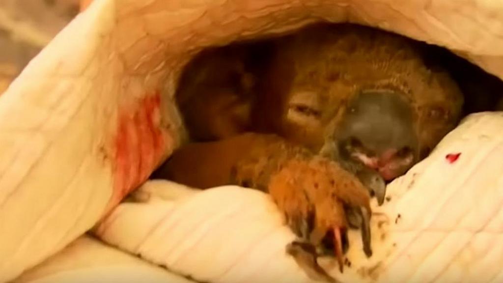 澳洲山火女子闖火場奮勇救出 樹熊多處燒傷未見好轉終接受安樂死