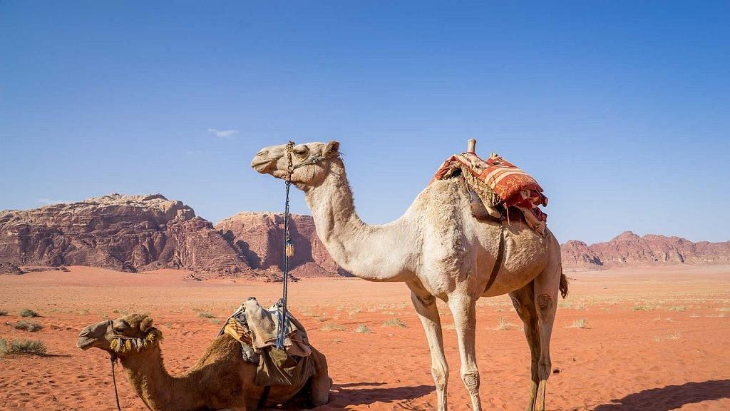 擔心駱駝分薄當地短缺水資源 南澳一連5日撲殺約1萬隻駱駝