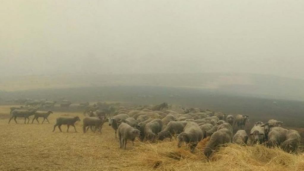 澳洲大火盡見動物互助互愛 6歲牧羊犬盡責帶領羊群脫離險境