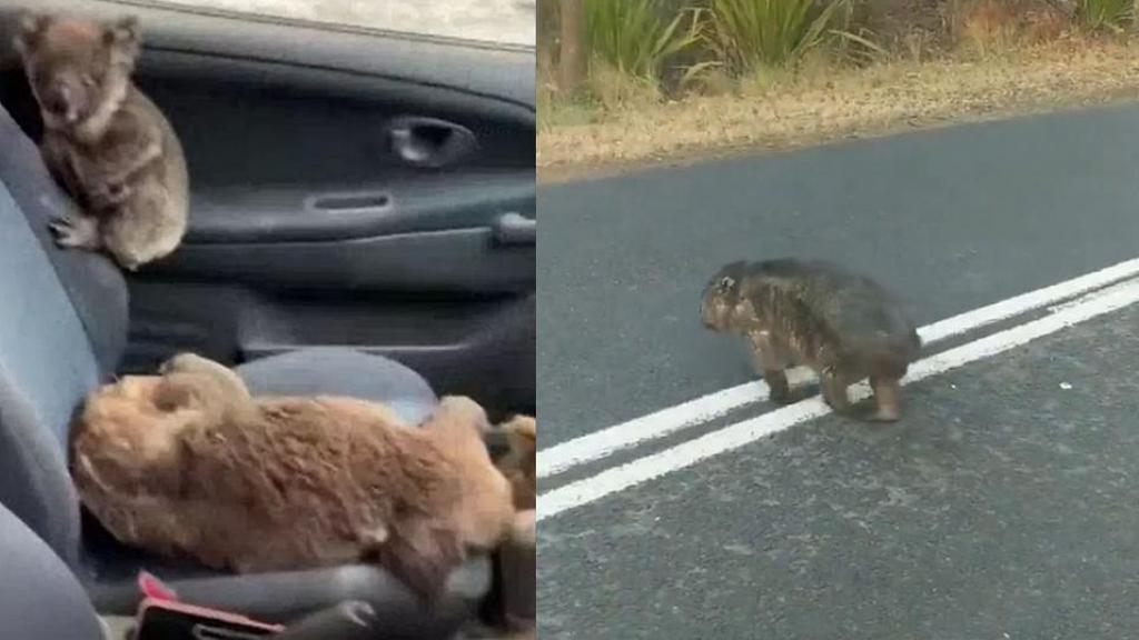 澳洲大火袋熊傷痕累累公路覓食行動不便  單車男不忍慘況停車餵水吊命