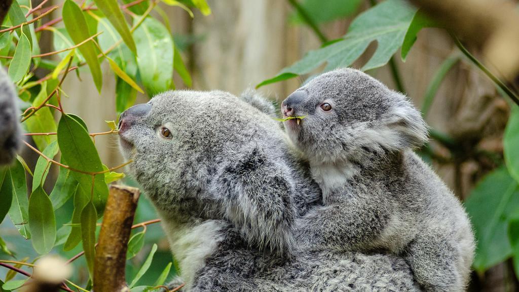 澳洲大火大量樹熊慘死或列入瀕臨絕種名單 居民促政府將樹熊引進新西蘭防滅絕