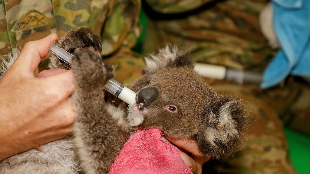 澳洲軍人放工唔休息照顧樹熊!手抱受傷樹熊似足慈父親自餵食助康復獲網民激讚
