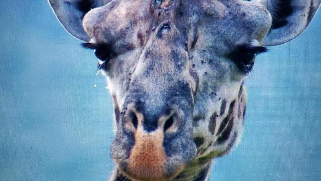 為吃野生動物盜獵者樹上設陷阱 長頸鹿吃葉不慎被鋼索傷致皮開肉綻流淚求救