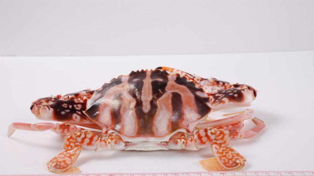 【蟹季】大閘蟹秋天當造!8款香港常見蟹類品種 一文睇晒黃油蟹/膏蟹/肉蟹的分別