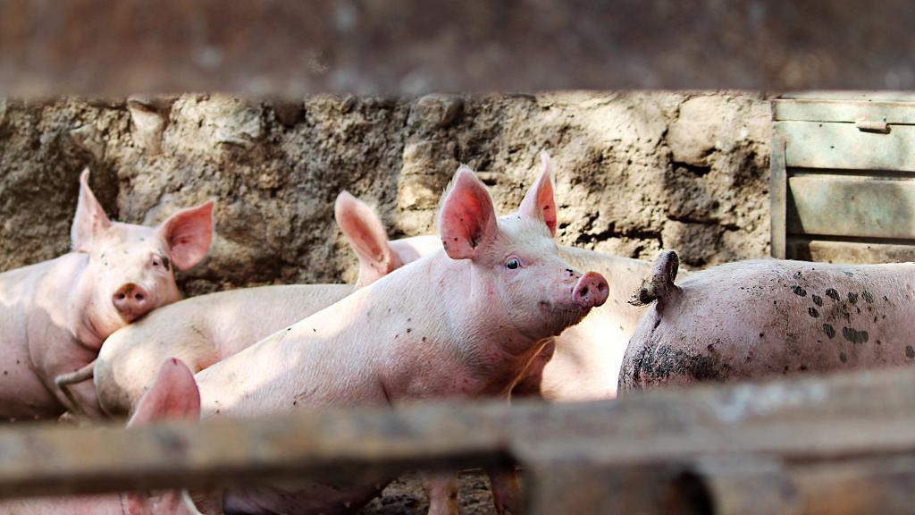 豬隻現全新冠狀病毒Sads-CoV與新冠肺炎屬同家族 研究:或會跨物種感染人類
