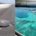 瀕危綠海龜心繫家鄉重返馬爾代夫出生地產卵 昔日海灘家園卻已成機場跑道