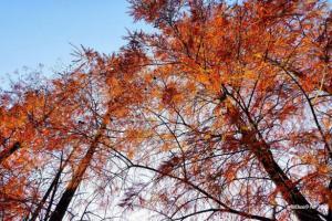 漫步湖畔 青衣公園葉漸紅