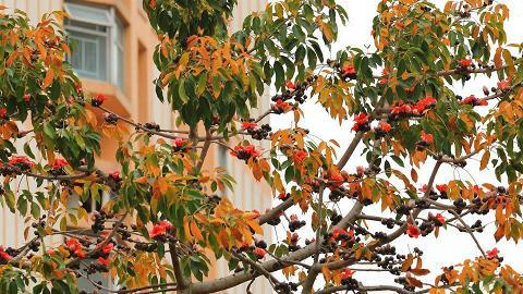 香港2020年再無冬天?前天文台台長揭示木棉樹花葉並存不尋常警告