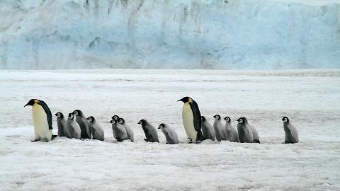 南極冰架遭強風吹襲 企鵝棲息地被摧毀!一夜間逾千隻皇帝企鵝BB溺斃