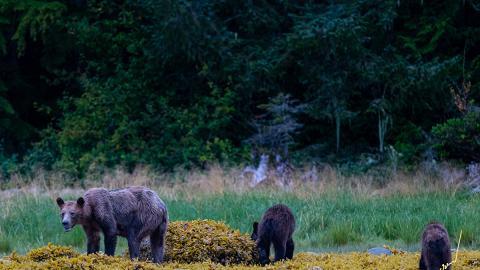 氣候暖化致三文魚數量急降 灰熊骨瘦如柴帶小熊覓食不果糧食不足難度冬眠