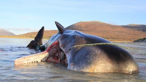 26噸重抹香鯨伏屍蘇格蘭海灘 解剖胃部內除100公斤海洋垃圾外竟無一物