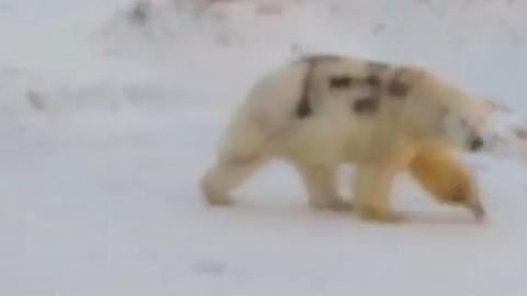 俄羅斯北極熊被噴上黑漆 專家憂身上記號無法洗走:失去保護色會死掉