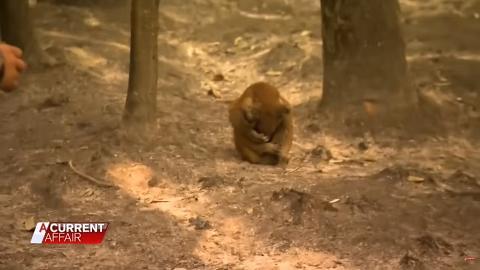 澳洲大火燒傷樹熊孤立無援只可呆坐 可憐無助地抱成一團網民感心酸
