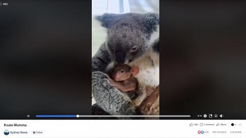澳洲大火樹熊媽媽逃過一劫 平安誕下樹熊寶寶展現頑強生命力