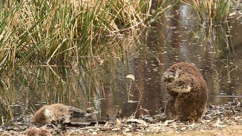 澳洲災難不斷經歷大火再遇山泥傾瀉 樹熊見同伴屍體即不安抱頭哀悼