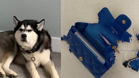 雪橇犬貪玩咬爛$7000蚊Chanel銀包 女主人發現名牌內裡真實用料:這次算是開眼了