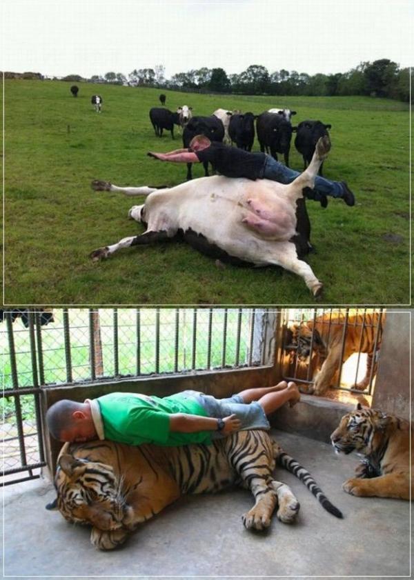 乳牛與老虎一齊仆街,乳牛很給力! (圖: Full Punch)