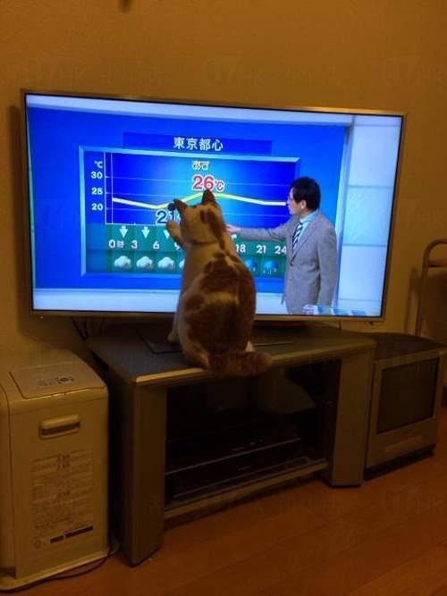 當主播揮動手中的棒棒時,貓貓就跟著動,想要抓住它