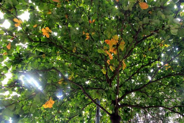 11月18日16:20 銅鑼灣中央圖書館門外欖仁樹