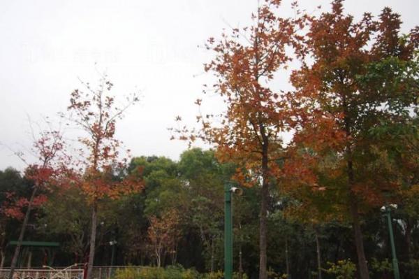 2014年12月27日 佐敦谷公園紅葉(圖:《【第十一個紅葉景點最Like】草地上的紅葉》)
