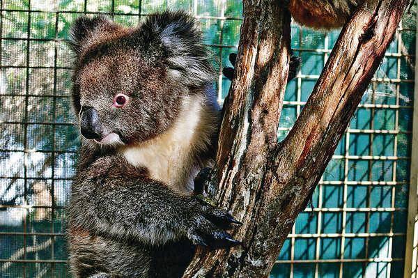 海洋公園樹熊館將於2015年3月底開幕