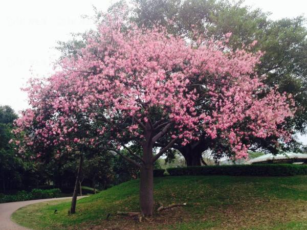 10-11月:美人樹