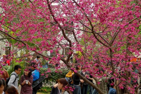 1月中-3月上旬:櫻花